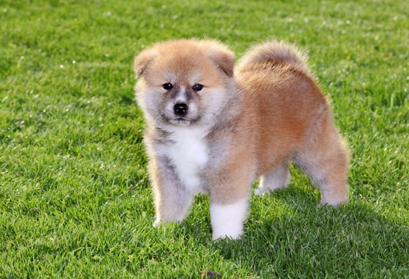 Akita Inu Top 10 Most Beautiful Dogs Breeds 2017