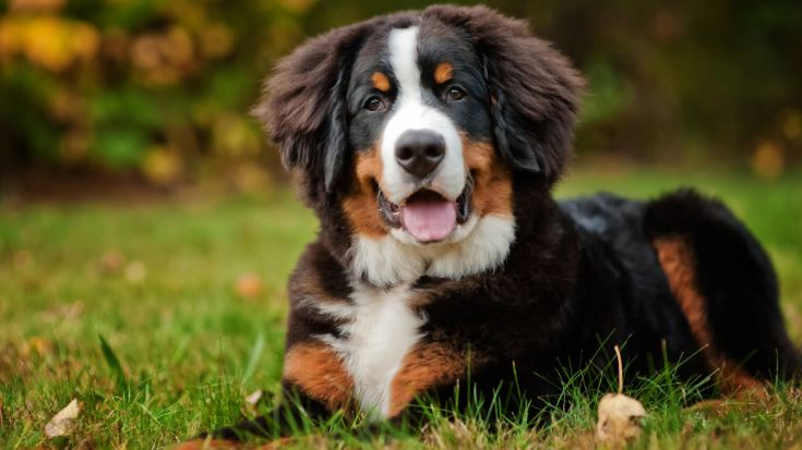 Bernese Mountain Dog Top Most Popular Beautiful Dogs Breeds 2018