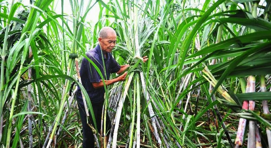 Sugarcane Producing Countries