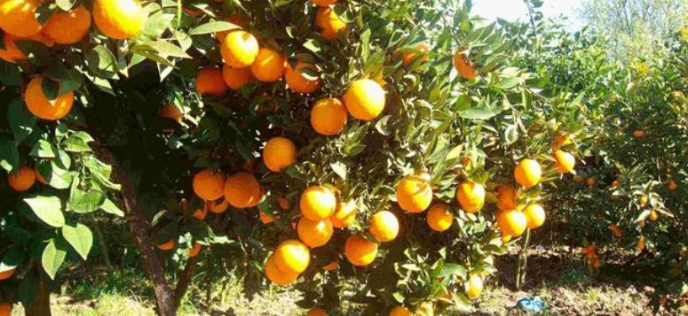 Citrus Producing Countries