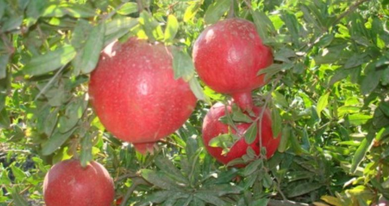 Pomegranate Producing Countries
