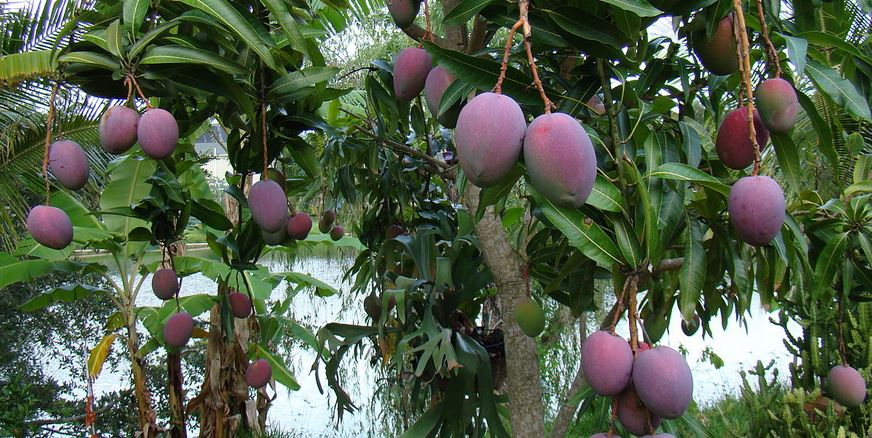 Mango Producing Countries