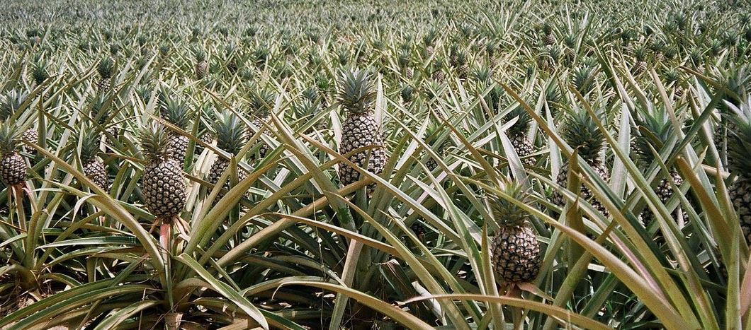 Largest Pineapple Producing Countries 2019