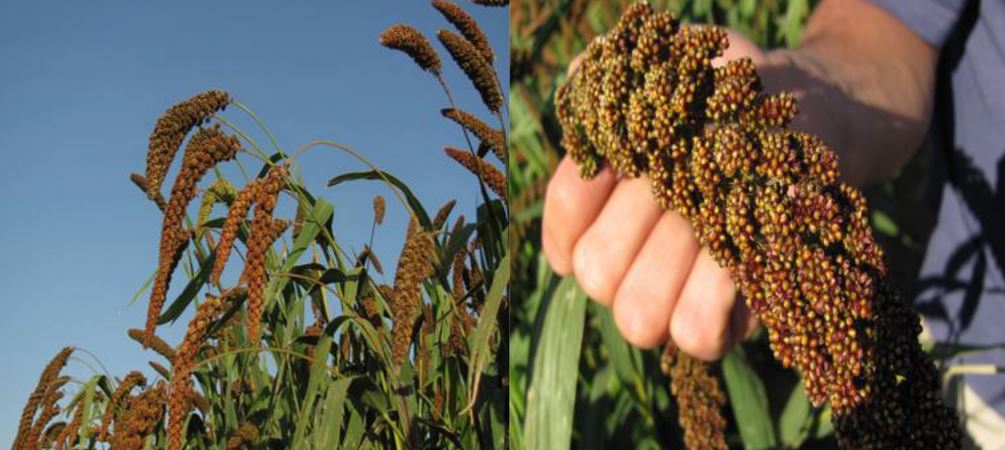 Millets Producing Countries