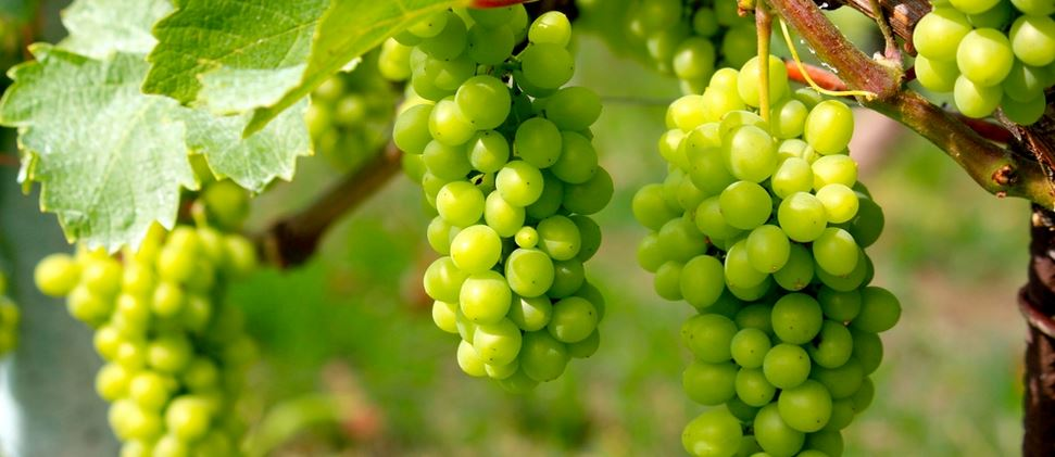 Grapes Producing Countries