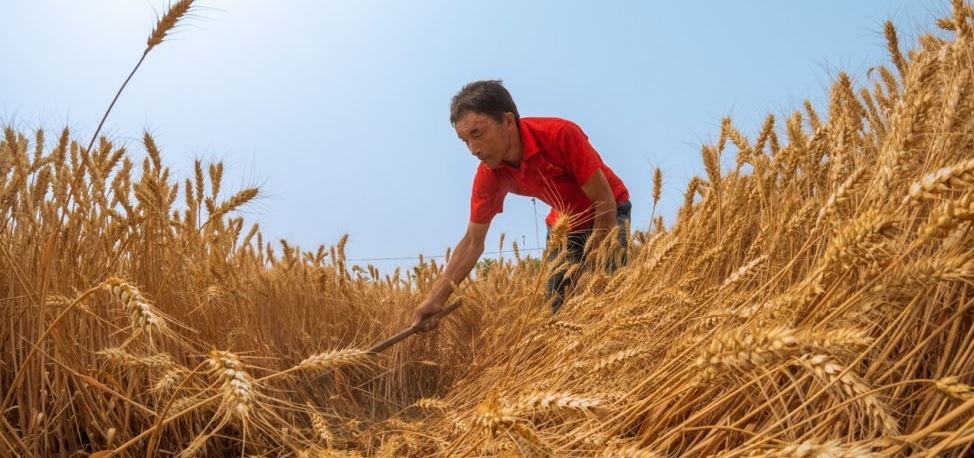 China Top Popular Largest Wheat Producing Countries In The World 2018