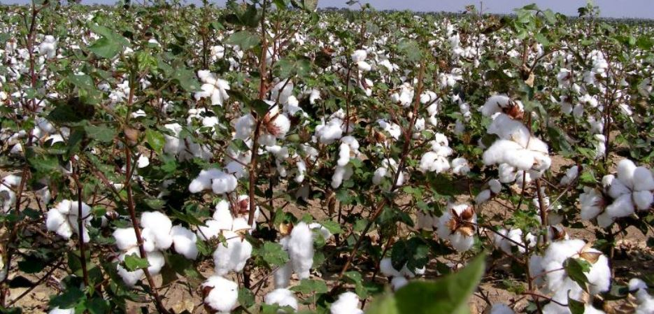 Largest Cotton Producing States in India