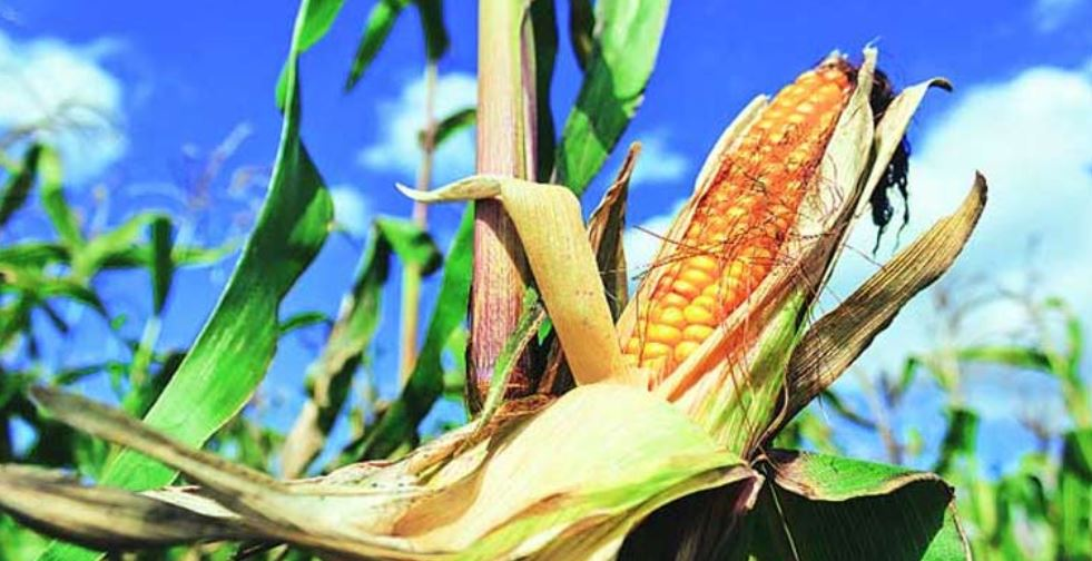 Largest Maize Producing States in India