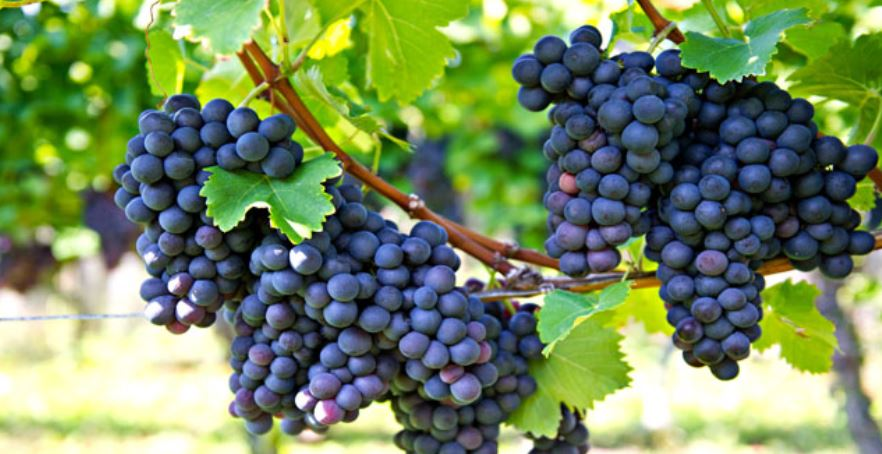 Largest Grapes Producing States in India 2019