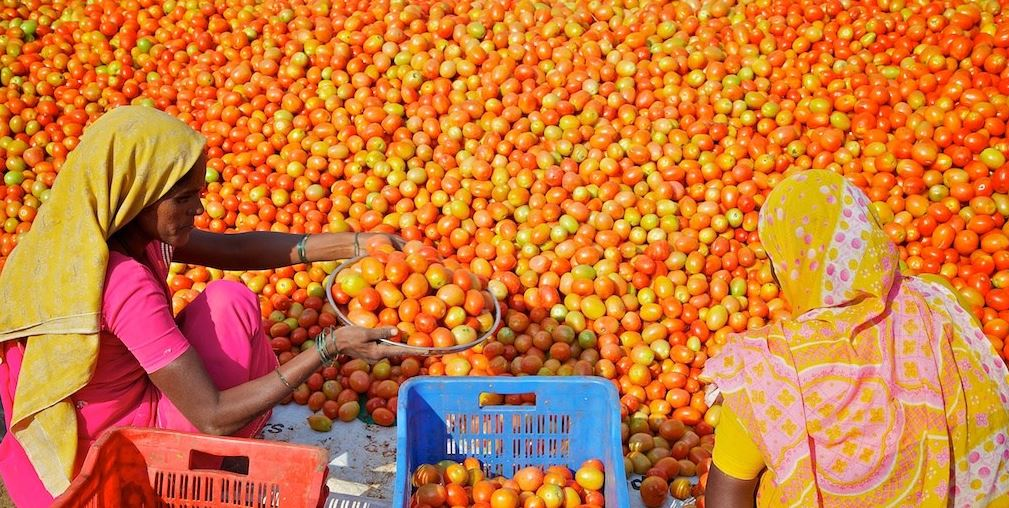Largest Tomato Producing States in India