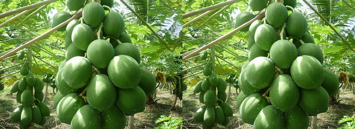 Largest Papaya Producing States in India