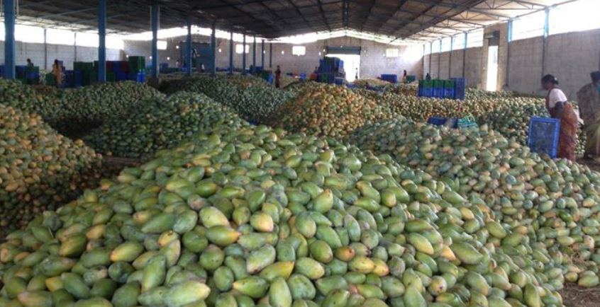 Maharashtra Top Popular Largest Mango Producing States in India 2017
