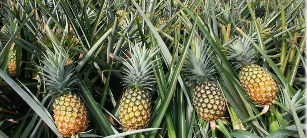 Largest Pineapple Producing States in India 2019